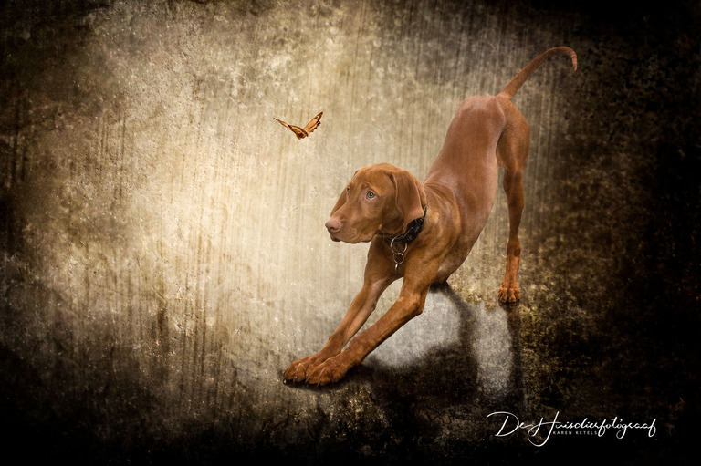 Fine-Art Portret van een spelende viszla met een vlinder. De Huisdierfotograaf