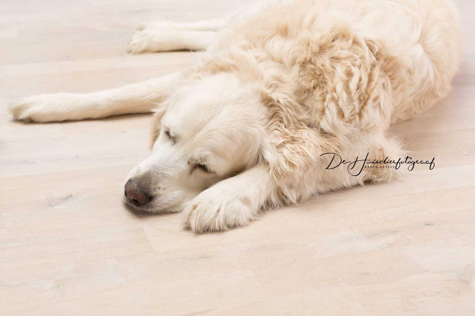 portret van een slapende witte golden retriever op een crèmekleurige houten vloer. Portret door De Huisdierfotograaf Karen Ketels