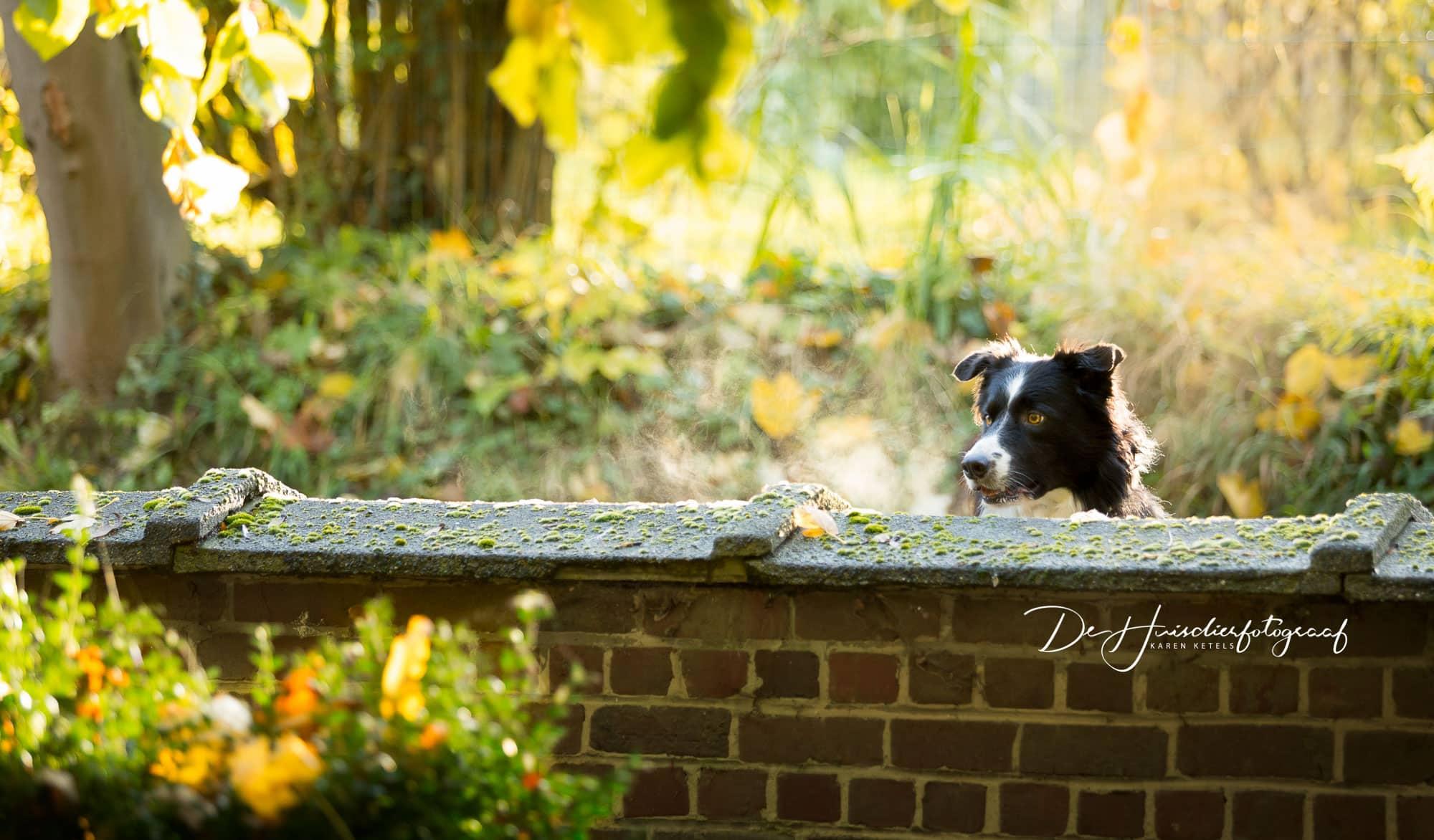 Border collie kijkt over een stenen muurtje, zijn oortjes gespitst. Portret door De huisdierfotograaf Karen Ketels
