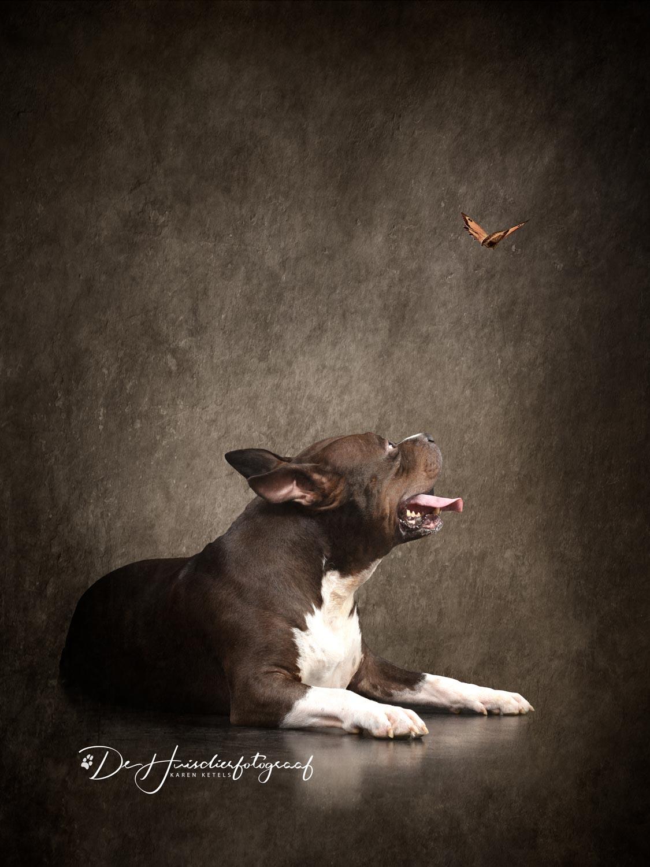 american bull Jerry fine-art portret door De Huisdierfotograaf