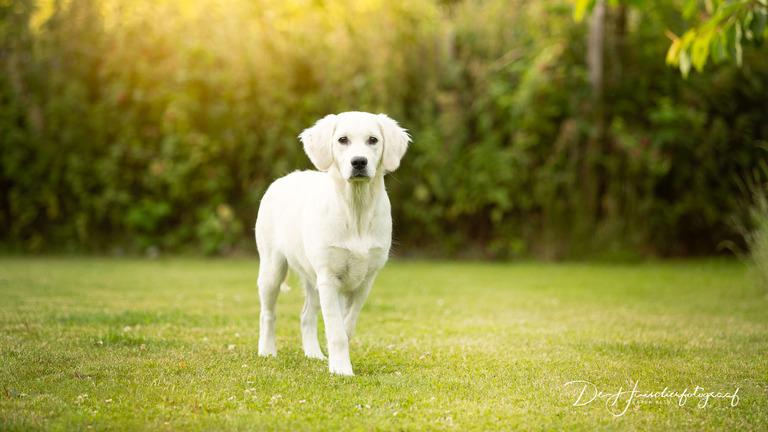 Fiere witte golden retriever pup door De Huisdierfotograaf