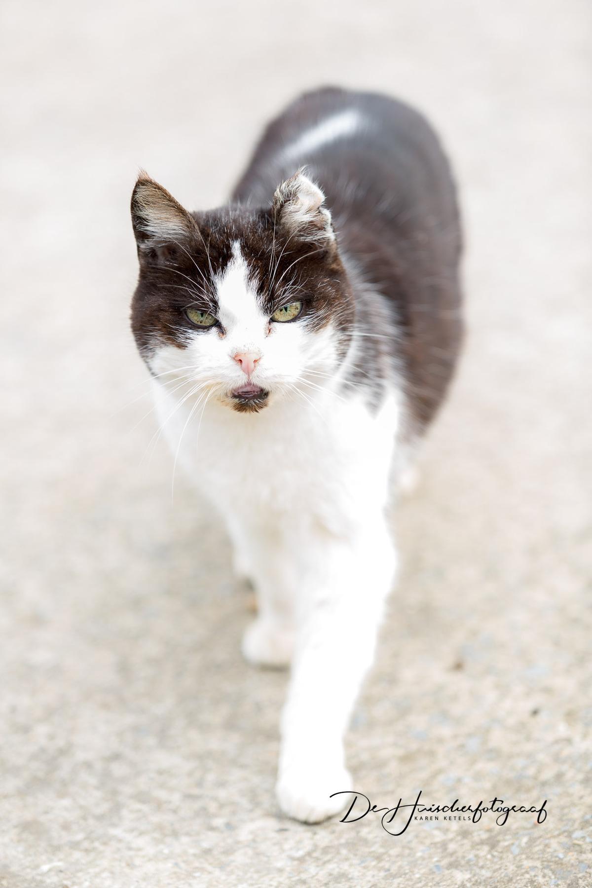 Portret van een kat die komt aangewandeld. De kat heeft een kapje in haar oor.