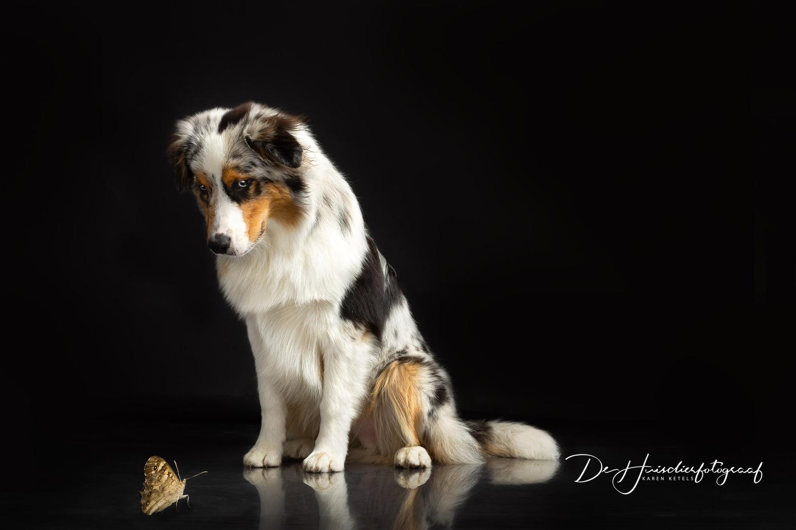 Portret van jouw hond. Fine-artportret van een Australian Sheperd die naar een klein vlindertje zit te kijken. Portret door De Huisdierfotograaf