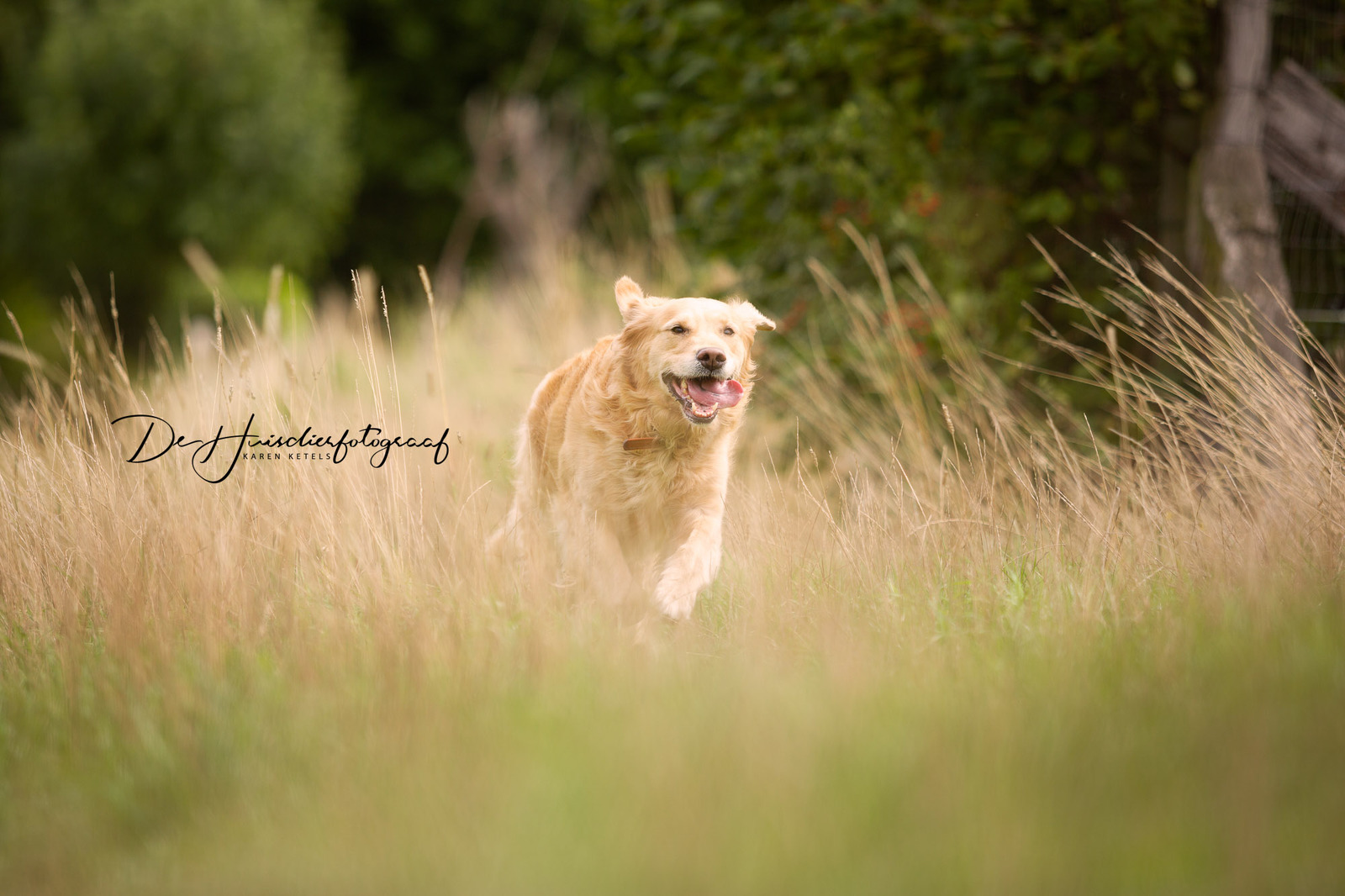 Portret van een rennende bruine golden retriever in hoge grassen. Ze rent zo enthousiast dat haar oortjes rondvliegen en haar tong uit haar muil hangt. Portret door De Huisdierfotograaf
