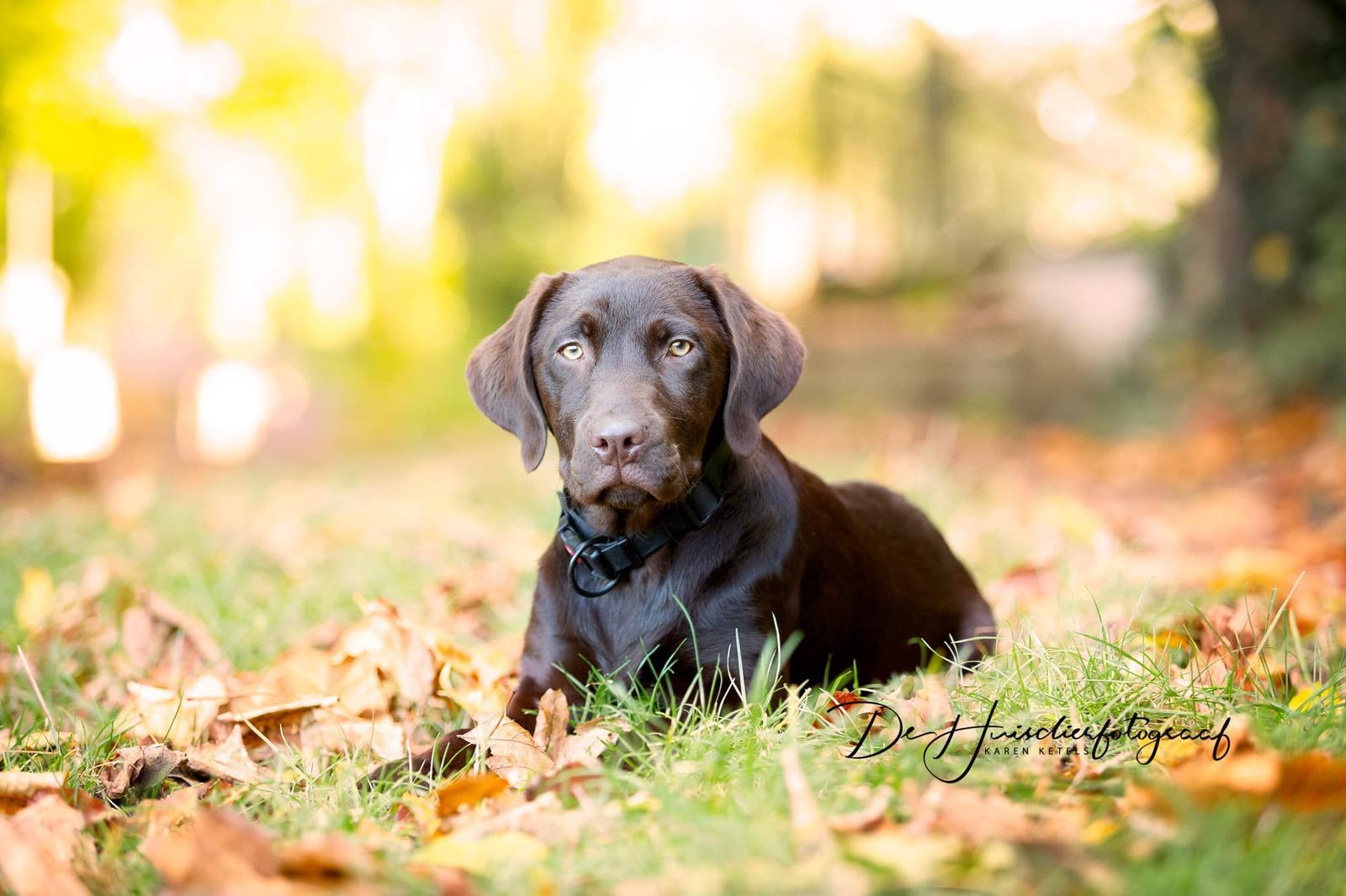 Buitenportret tussen de herfstblaadjes van een donker bruine labrador pup. De pup ligt ontspannen tussen de kleurrijke blaadjes en kijkt recht in de lens van de fotografe. Portret door De Huisdierfotograaf