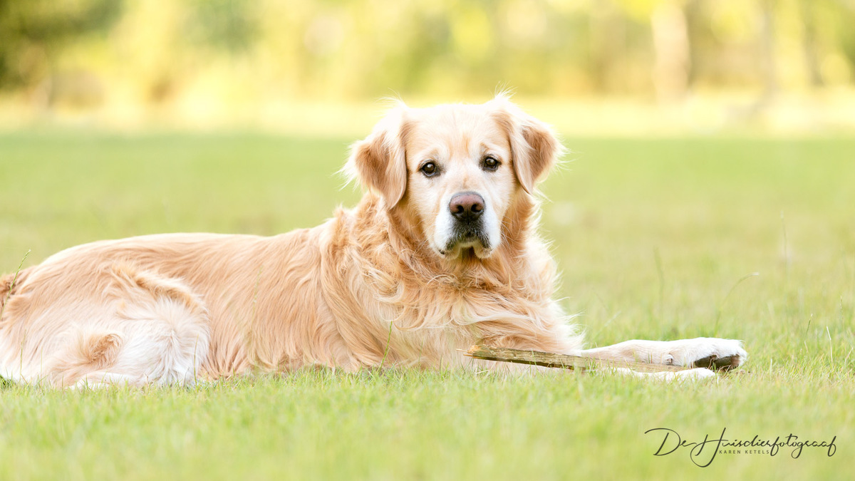 Golden Retriever op het gras