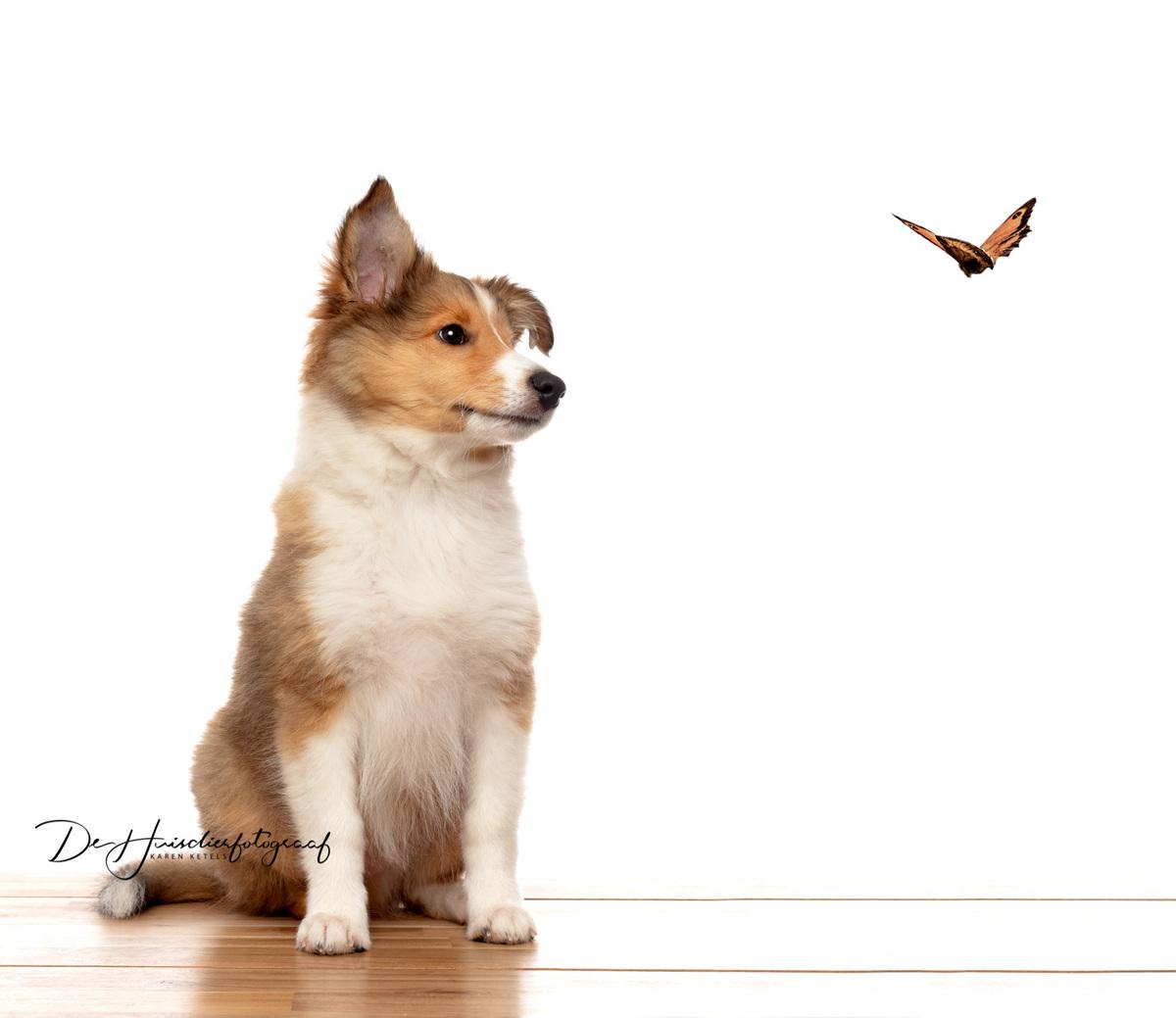 Shelti puppy kijkt naar een vlindertje