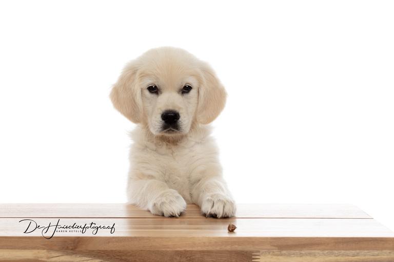 Golden Retriever puppy wil een koekje nemen, maar kijkt eerst of het mag. Portret door De Huisdierfotograaf