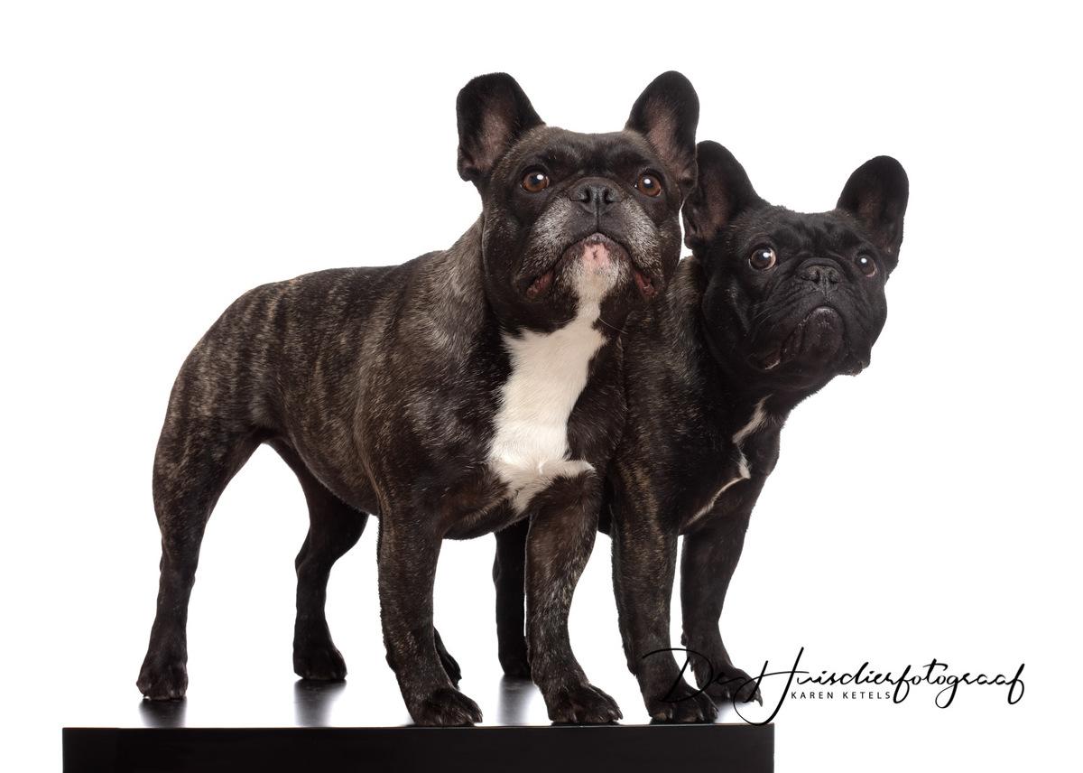 Portret van jouw hond. 2 Franse bulldogs, zusterlijk zij aan zij. Portret door De Huisdierfotograaf