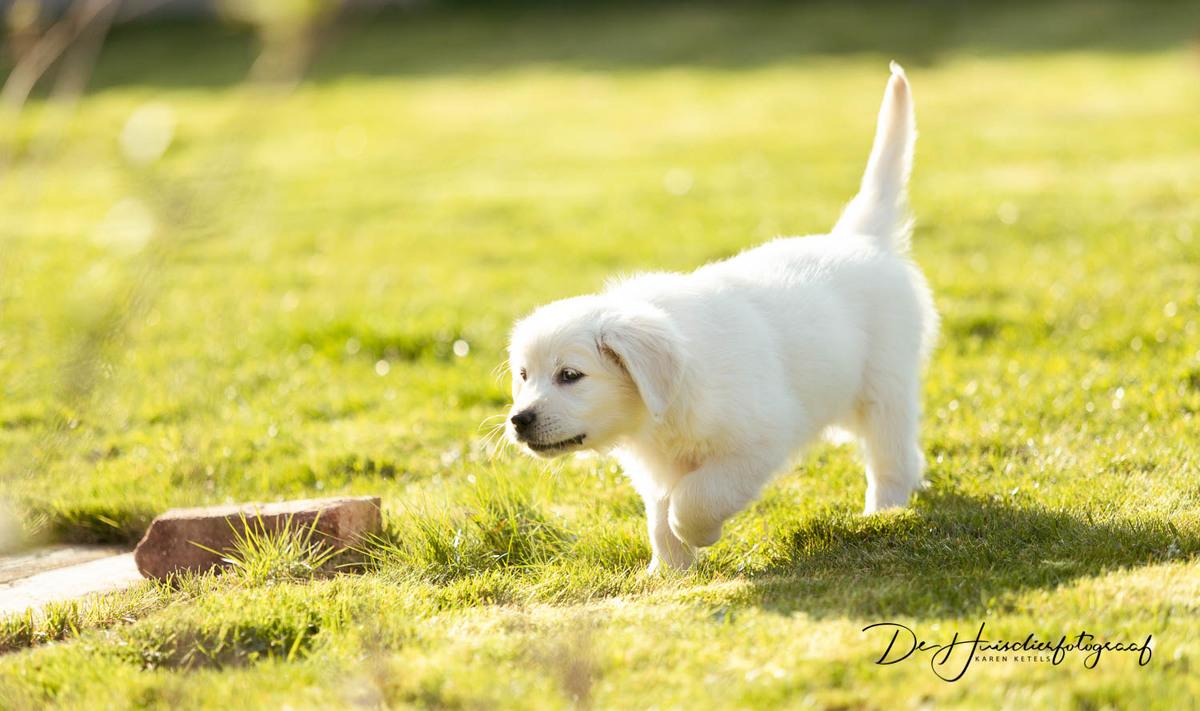 golden retriever puppy wandelt in de tuin