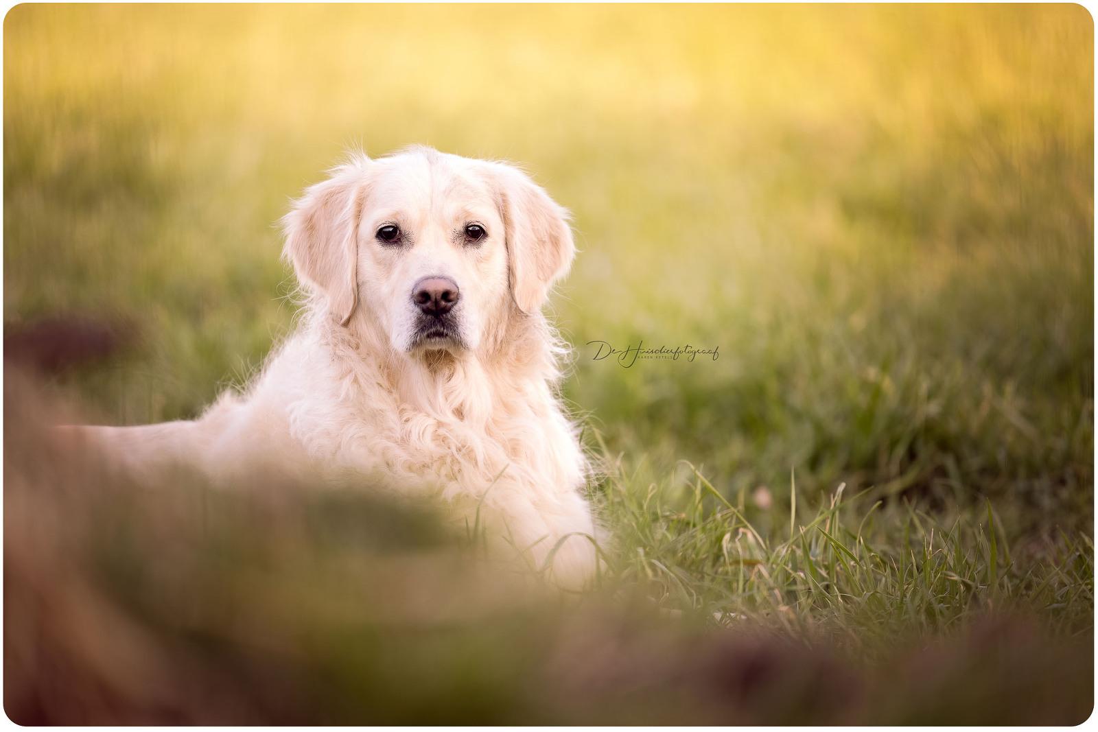 Portret van een fiere golden retriever door De Huisdierfotograaf