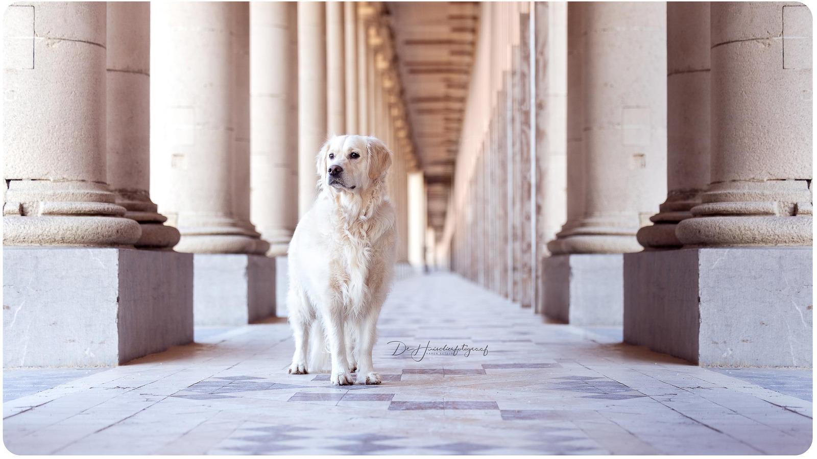 portret van Hebe, de golden retriever van De Huisdierfotograaf