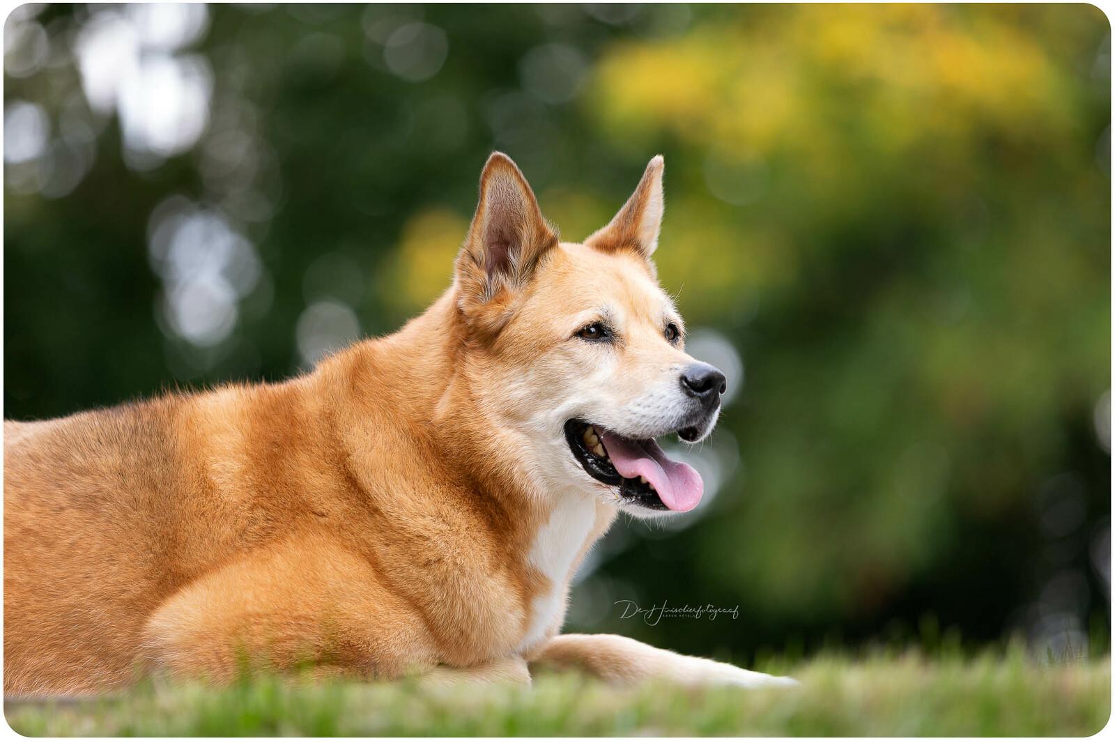 Buitenportret van Kiara, een kruising tussen een Husky en een Aiko. Portret door De Huisdierfotograaf