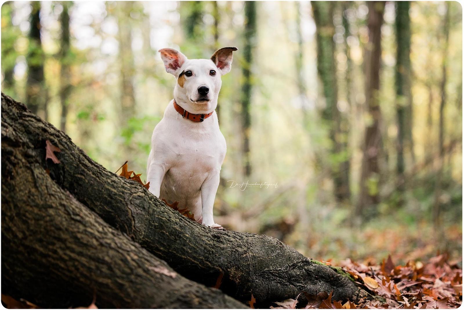 Portret door De Huisdierfotograaf van een Jack Russel in het bos