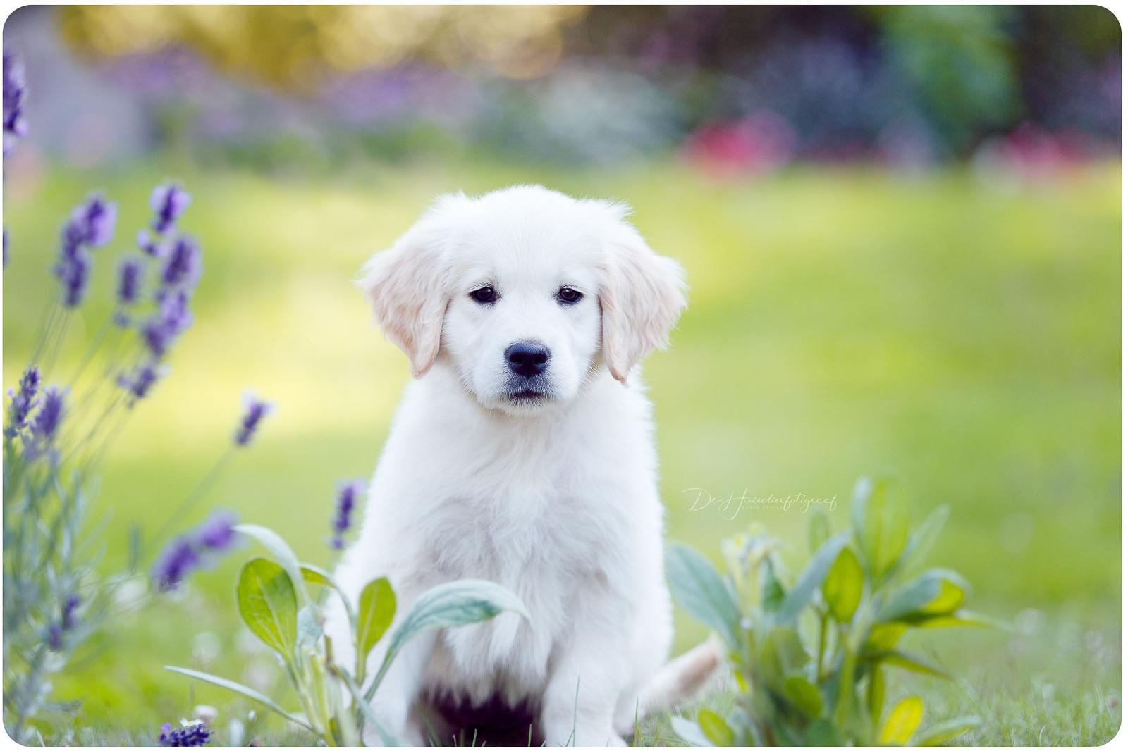 Puppyportret golden retriever tussen de lavendelbloemetjes De Huisdierfotograaf