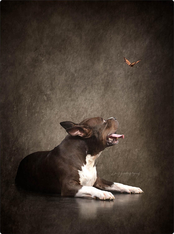 Fine Art Portret van een american bull door De Huisdierfotograaf