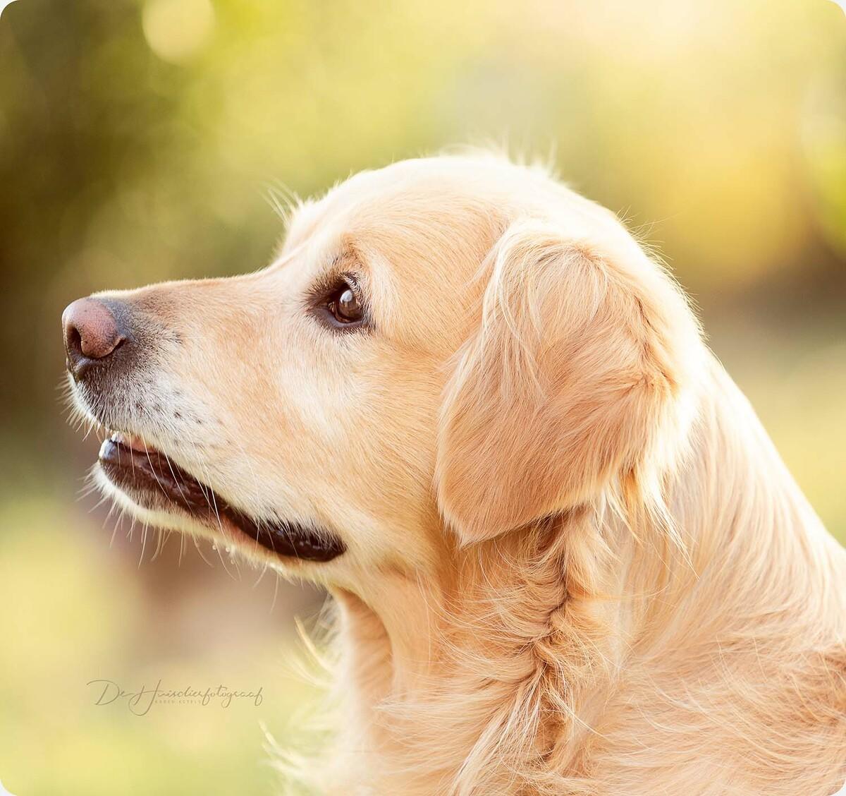 Buitenportret golden retriever door De Huisdierfotograaf