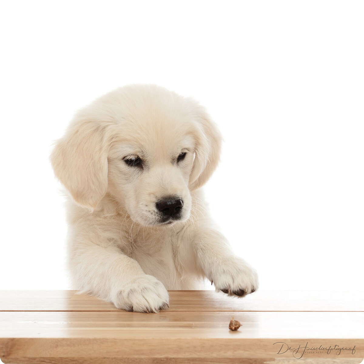 Golden retriever puppytje in de fotostudio bij De Huisdierfotograaf