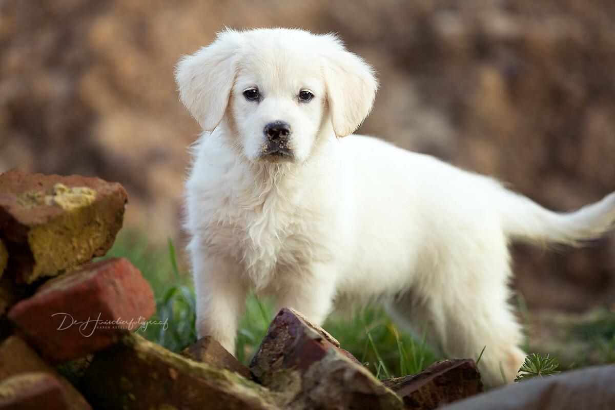Puppyportret van een witte golden retriever door De Huisdierfotograaf