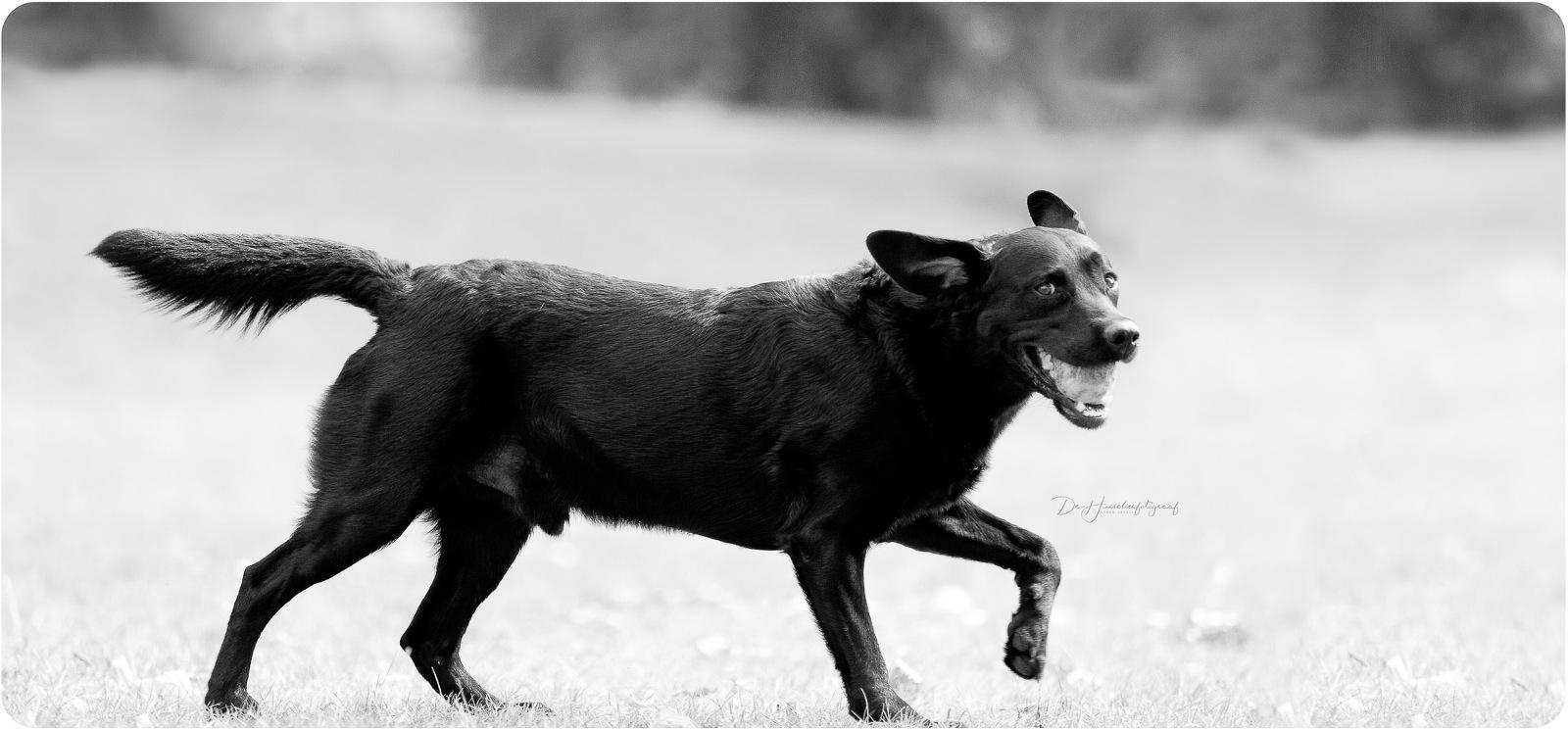 Zwart-wit-portret van een zwarte labrador die voorbijloopt met een tennisbal in de muil, en intussen een blik op De Huisdierfotograaf werpt