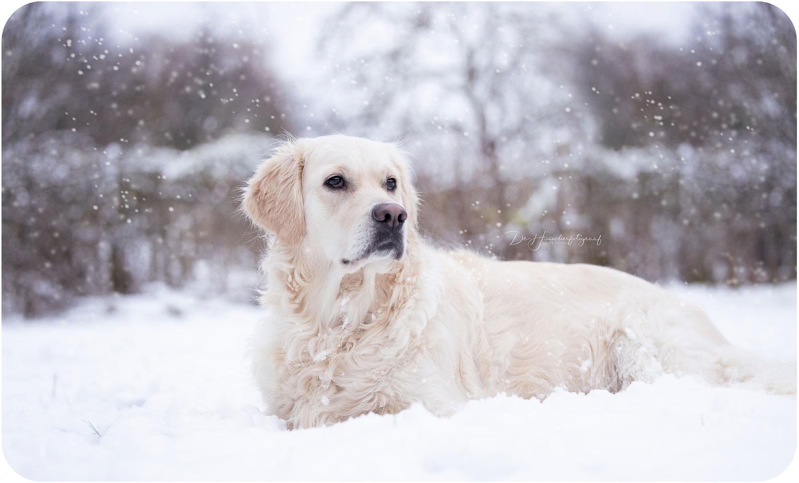 Winterportret van een witte golden retriever in de sneeuw. Portret door De Huisdierfotograaf.