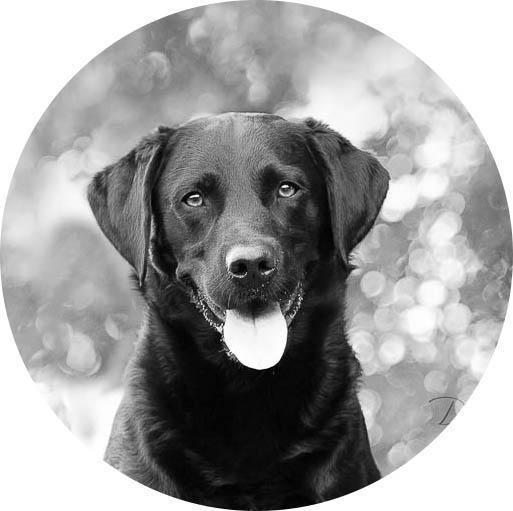 Zwart-wit portret van een labrador door De Huisdierfotograaf